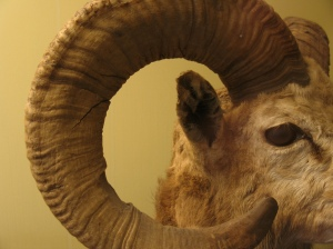 Horns from the Harvard Museum